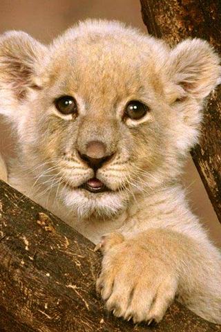 Liten l ve ipod1 for Immagini leone hd